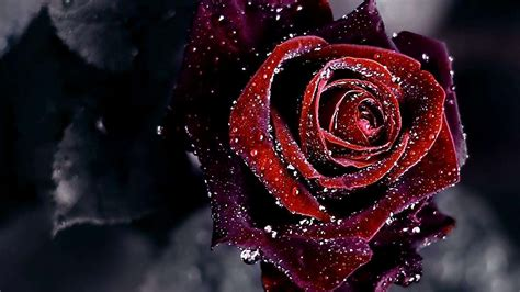 wallpaper for laptop roses red and black rose wallpaper gzsihai com