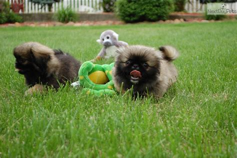 puppies for sale st cloud mn pekingese puppy for sale near st cloud minnesota 7ac59737 0311