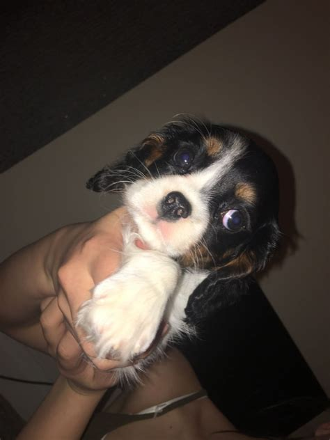 14 week puppy 14 weeks puppy altrincham greater manchester pets4homes