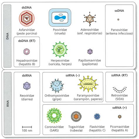 cadena de adn positiva y negativa genomas virales apuntes de bioqu 237 mica