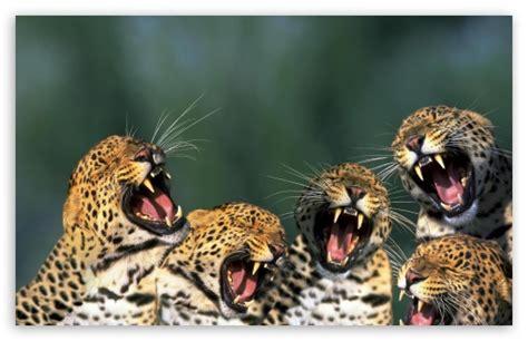 Live Die Whenever Wallpaper 1440p leopards 4k hd desktop wallpaper for 4k ultra hd tv