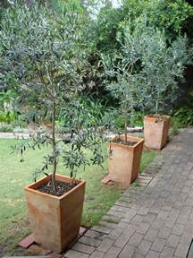 Small Trees For Patio Pots by The Olive Garden Olive Trees As Ornamentals
