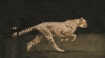 How Many Can A Jaguar Run Gif Cat Animals Running Big Cat Cheetah National