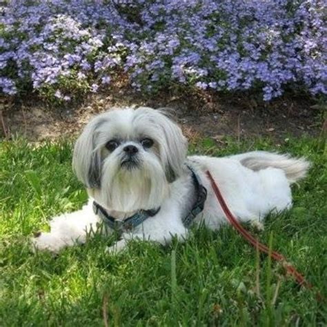 crate shih tzu puppy to be back to and consideration on