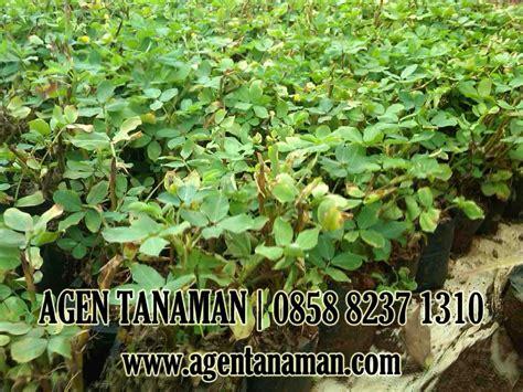 jual pohon landep kacang kacangan tanaman hias murah