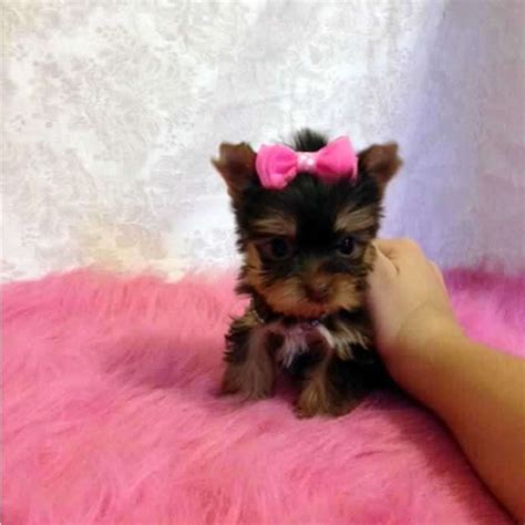 buy yorkies yorkies for sale buy teacup chocolate yorkie puppy sassy