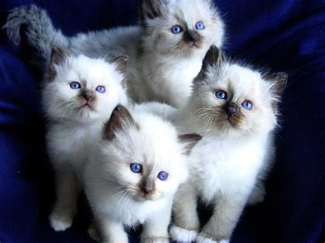 and cat pictures birman cat info history personality kittens diet picture