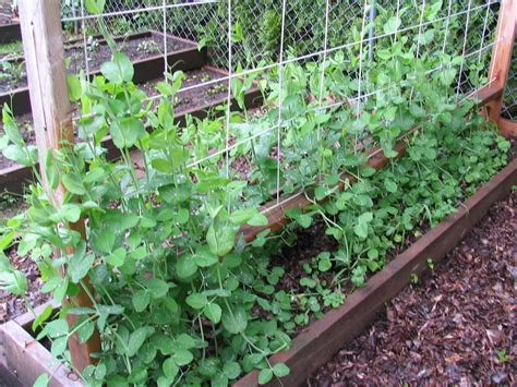 Sugar Snap Peas Trellis pea tendrils holding onto the trellis jimmy cracked corn