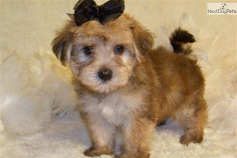 breeders in missouri yorkie poo breeders in missouri breeds picture