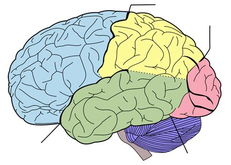 diagram of brain lobes file brain diagram without text svg wikimedia commons