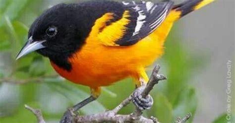 baltimore oriole maryland state bird easternshoreliving