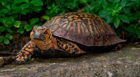 imagenes de libres y tortugas tortugas terrestres caracter 237 sticas qu 233 come d 243 nde vive