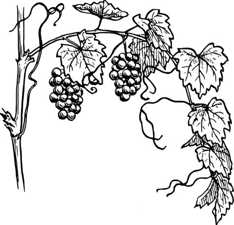 Coloring Page Vine And Branches by I Am The Vine Coloring Pages Clipart Best Clipart Best
