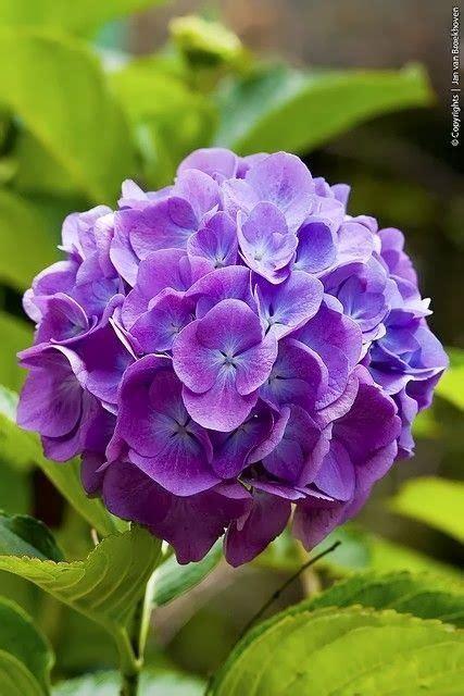 Hortensia Purple lavender hydrangea purple flowers by name