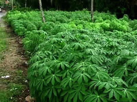 Cassava Leaves   Herbal Medicine and Nutrition Lemongrass Benefits Cancer