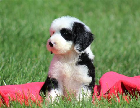 sheepadoodle puppies for sale sheepadoodle puppies for sale greenfield puppies