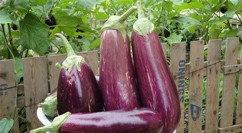 Bibit Terong Kopek sayur terong pohon jenis cara menanam dan kebun terong