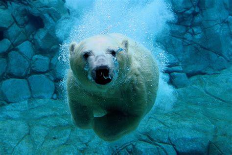 imagenes de osos wallpaper fondo imagen oso polar