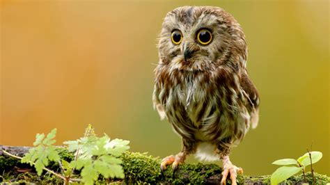 baby owl wallpaper 611335