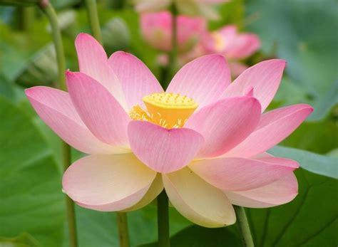 sacred lotus sacred lotus