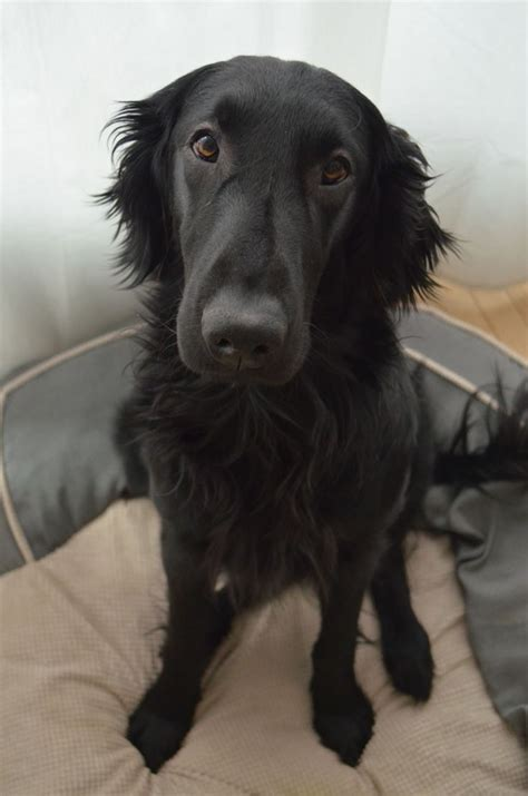 Flat Coat Retriever Shedding by 151 Best Images About Flat Coated Retriever On