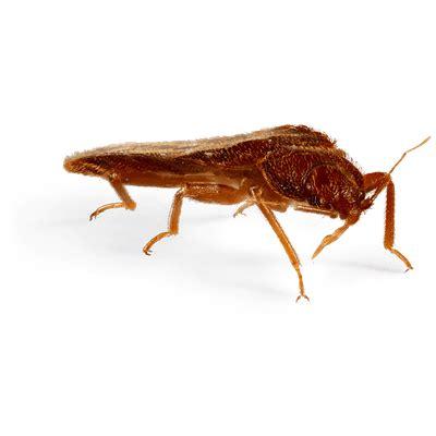 how big can a bed bug get large bed bug transparent png stickpng