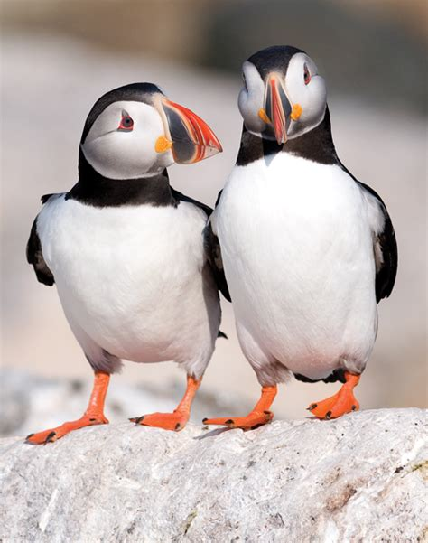 project puffin among the puffins down east magazine