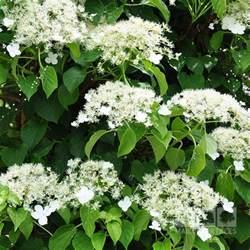 Evergreen Climbing Plant - hydrangea petiolaris climbing hydrangea mail order trees