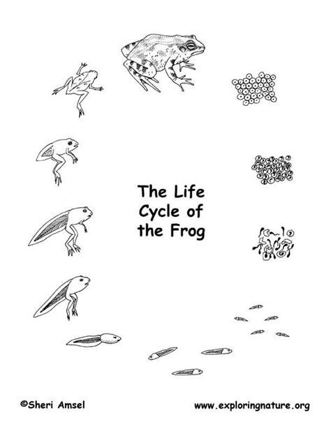 American Bullfrog Life Cycle Cycle Of A Frog Coloring Page