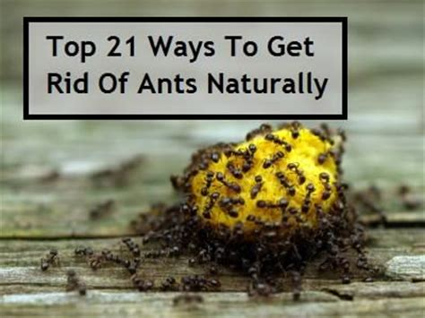 top 21 ways to get rid of ants naturally health