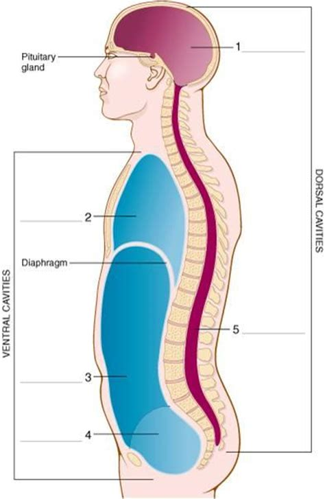 cavity diagram cavity diagram clipart best