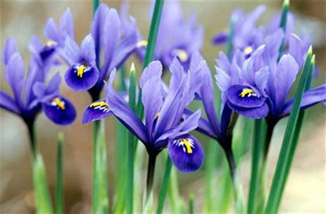 Fragrant Garden Plants - iris reticulata early bulbous iris rhs gardening