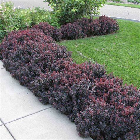 barberry concorde purple foliage berberis shrub greatgardenplants com