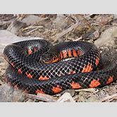 western-ribbon-snake