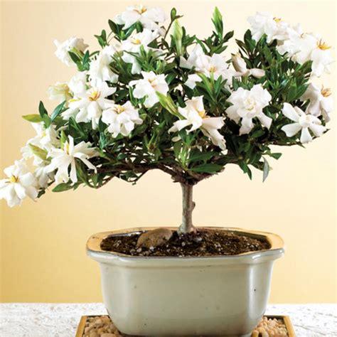 gardenia indoor or outdoor plant how to grow a gardenia bonsai bonsai tree care the