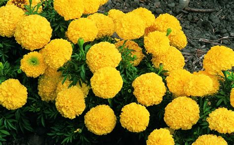 marigolds shade texas heat tolerant warm season annuals pered lawns inc
