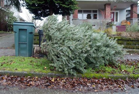 christmas tree recycling issaquah here s where you can recycle your tree the seattle times