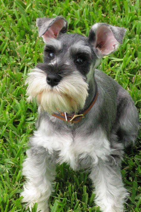 show me some hair cuts for miniature schnauzers ra 231 a schnauzer cachorros brasil