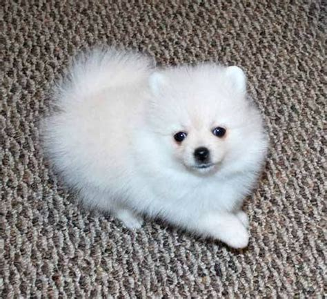 miniature pomeranian husky puppies for sale black and white pomeranian husky puppies for sale united states pets 1