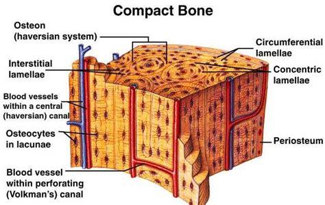 compact bone diagram chapter 9