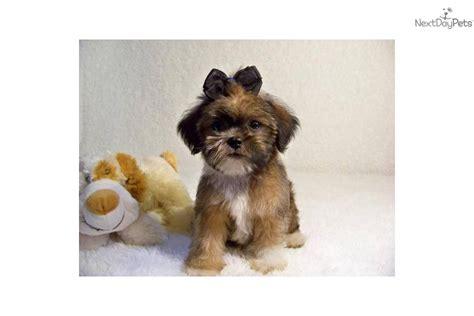 shiffon puppies for sale meet noah a brussels griffon puppy for sale for 449 noah adorable shiffon