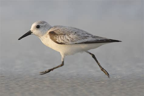 file calidris alba 001 jpg wikipedia
