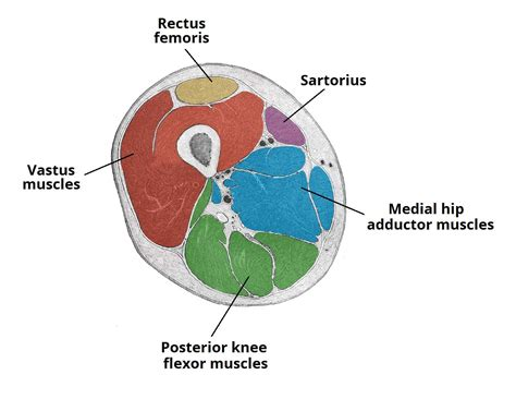 cross sectional area of muscle muscles of the anterior thigh quadriceps teachmeanatomy