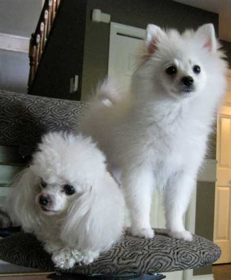 pomeranian puppy weight chart pom puppy tips projected weight chart puppy uglies pomeranian tips breeds picture