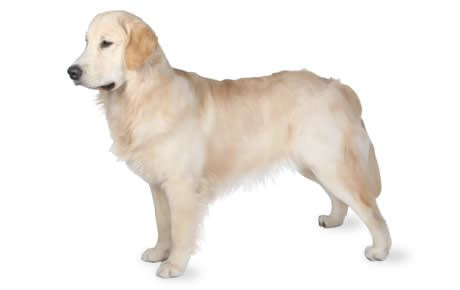 golden retriever behavior characteristics golden retriever breed information pictures characteristics facts dogtime