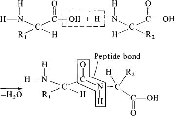 r protein definition peptide article about peptide by the free