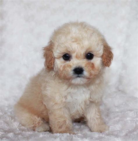apricot maltipoo puppies for sale maltipoo apricot puppy for sale muffin iheartteacups