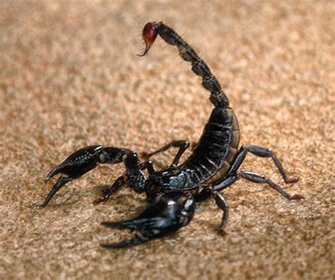scorpion sting scorpion stings