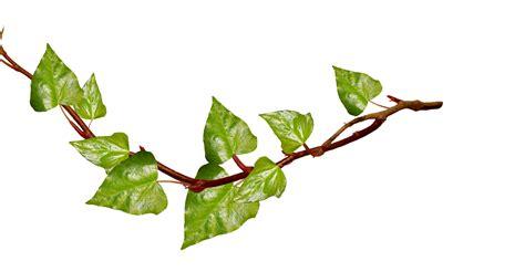 ivy vine ivy png clipart best