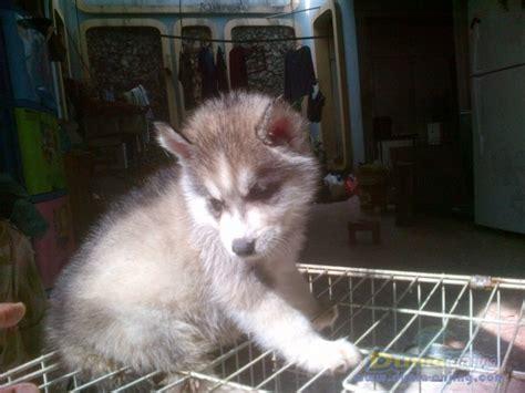 Jual Masker Mata Bandung dunia anjing jual anjing siberian husky 1 pasang